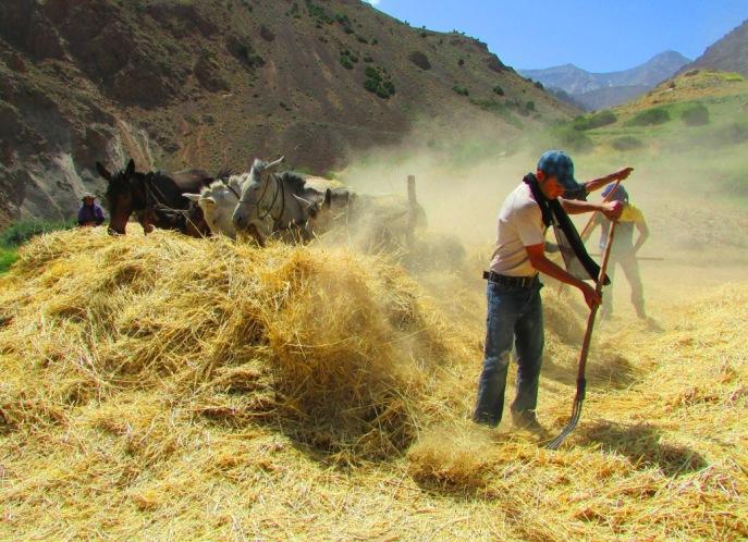 Gli uomini affastellano il grano da battere