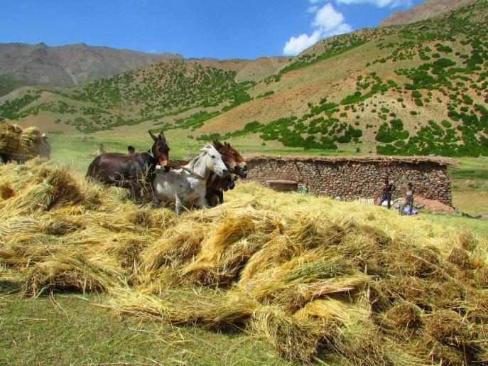 Muli e biche di grano sullo sfondo di una malga